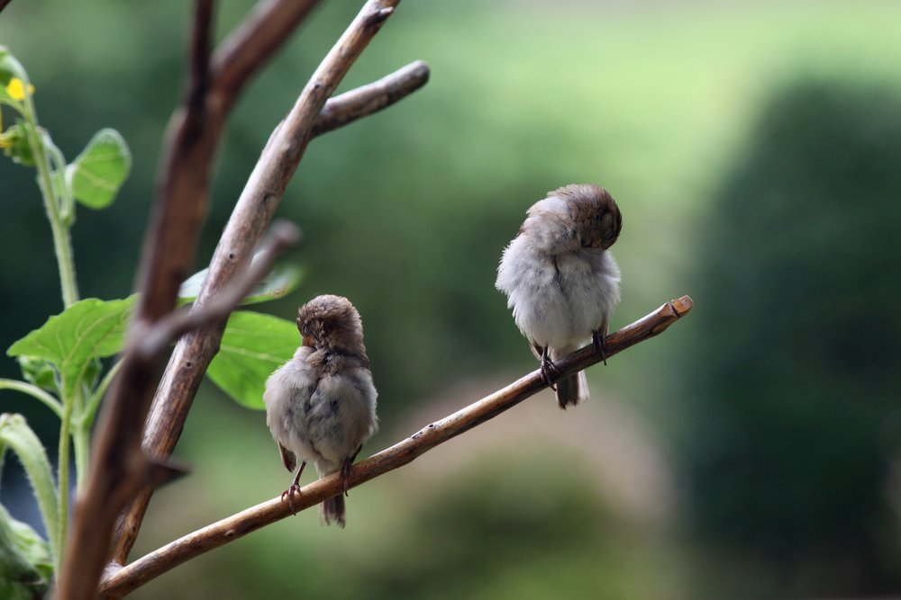 Sleeping Finches Perched on Branch(Ramona Edwards)s