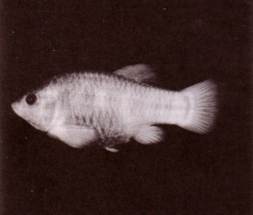 Tecopa-pupfish