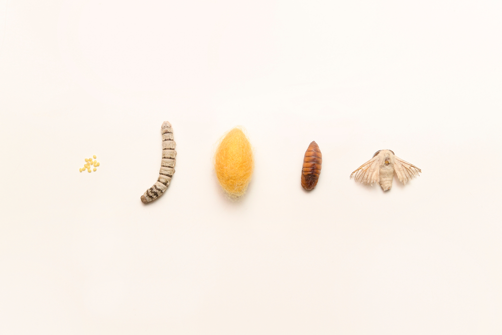 The cycle of a silk worm from the egg to the moth(ChilliPix)s