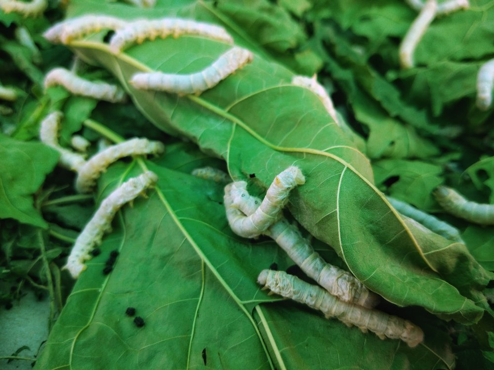 The silkworm is the larva or caterpillar of the domestic silkmotc(Pomme Home)S