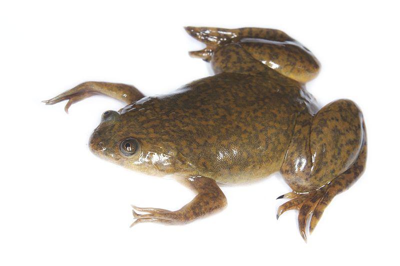 Xeno frog
