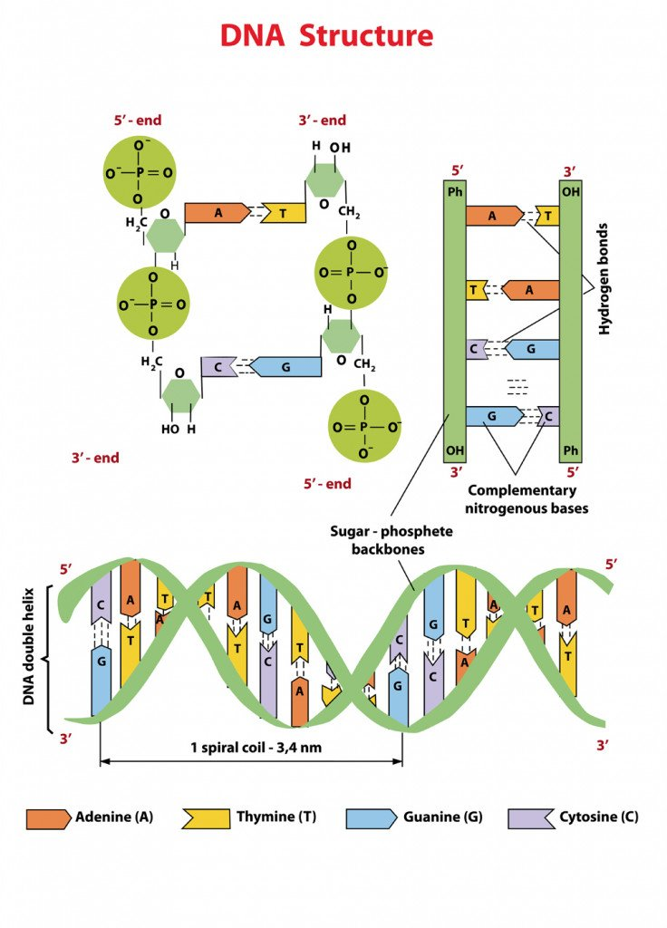 DNA structure Nucleotide, Phosphate, Sugar, and bases(Zvitaliy)s