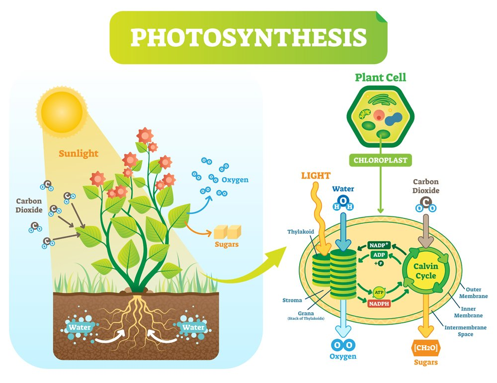 Photosynthesis,Biological,Vector,Illustration,Diagram,With,Plan,Cell,Chloroplast,Kelvin