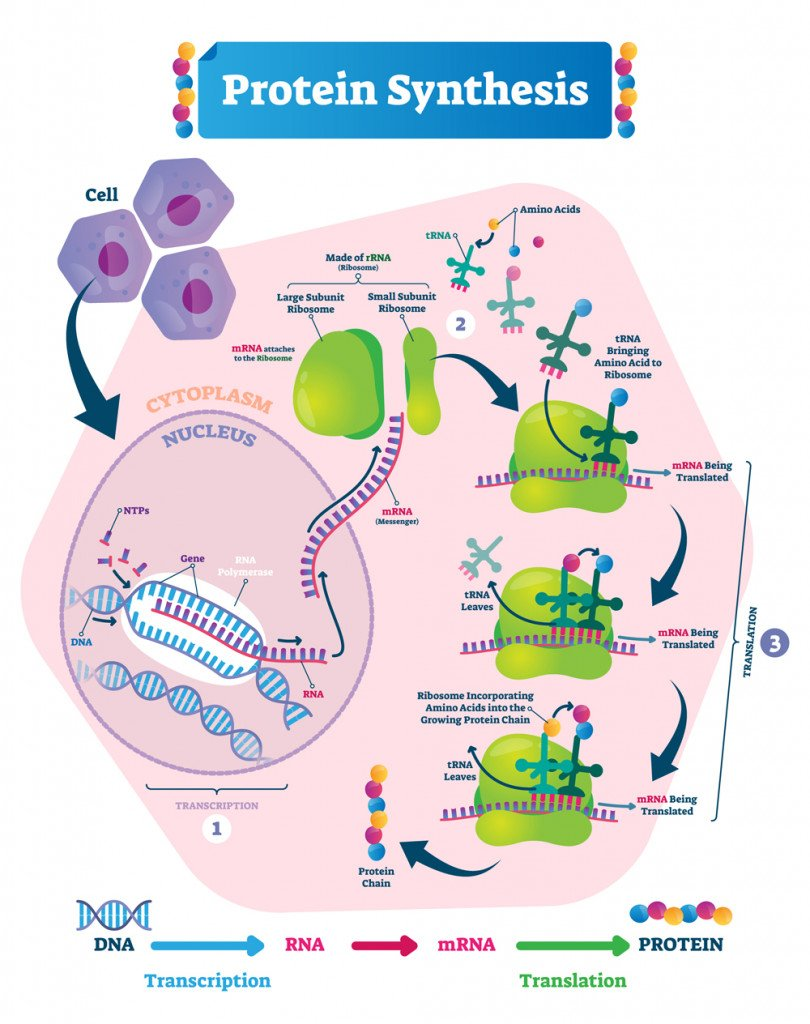 Protein synthesis vector illustration(VectorMine)s