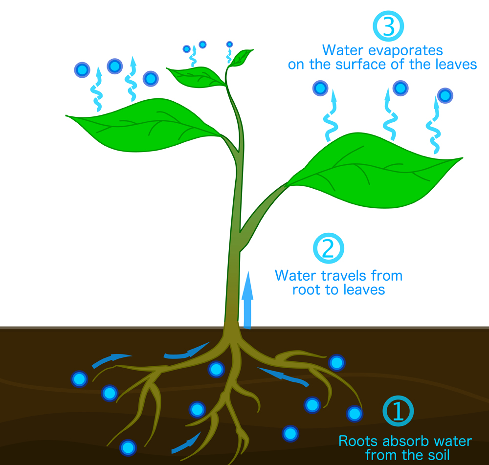 Transpiration,Stages,In,Plants.,Roots,Absorb,Water,From,The,Soil,