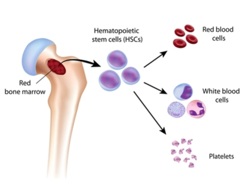 Blood cell formation from bone marrow(Alila Medical Media)S
