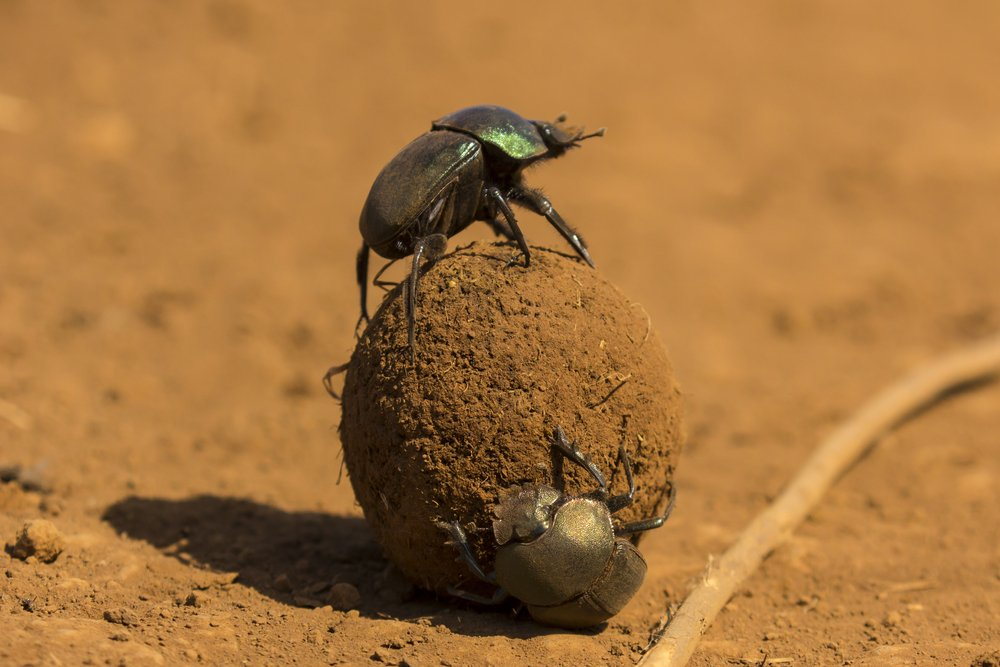 Dung,Beetles,Roll,A,Dung,Ball