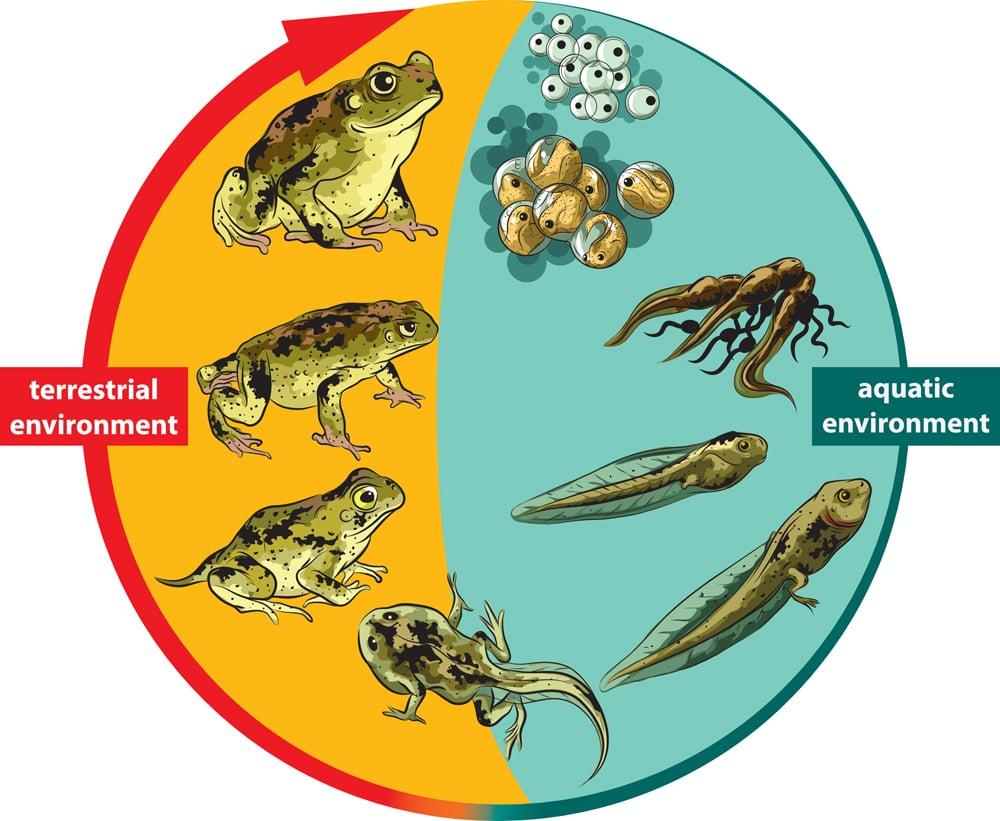 Frog,Life,Cycle.