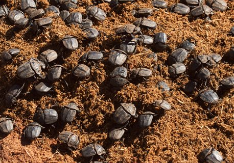 Numerous,Dung,Beetles,Are,Fed,With,Rhinoceros,Dung.,Dung,Beetles