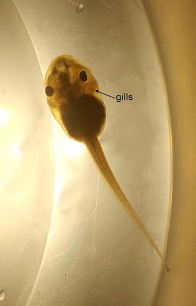 Tadpoles breathe through gills.