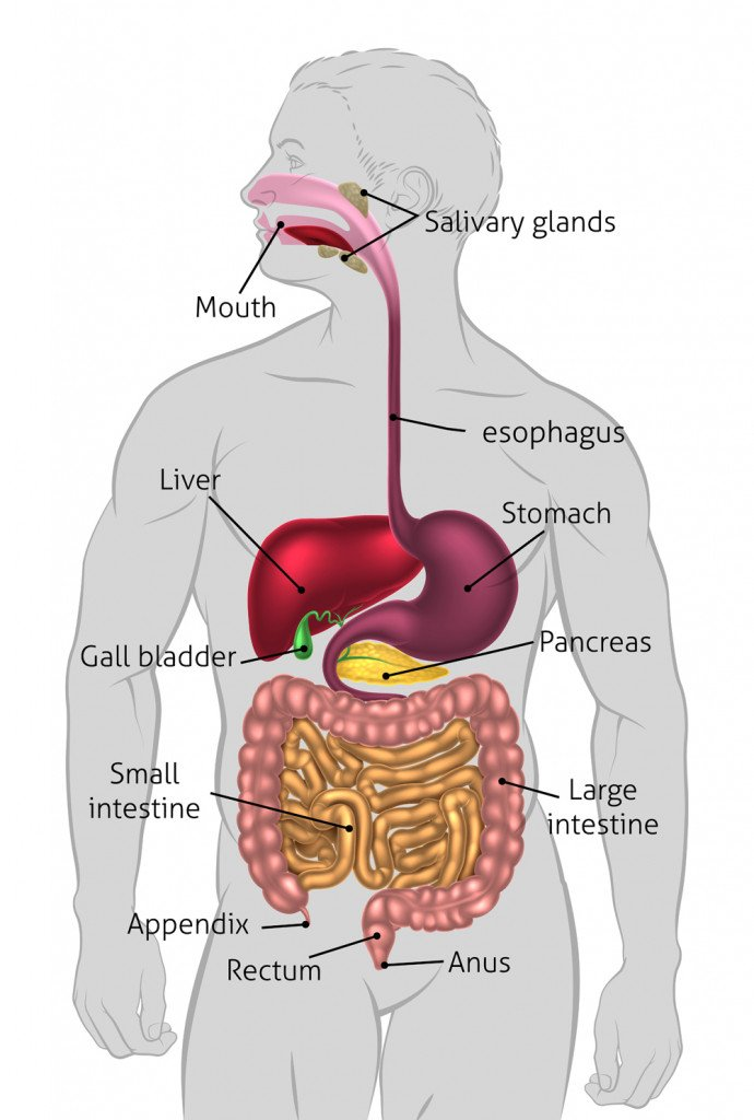 The human digestive system(Christos Georghiou)s