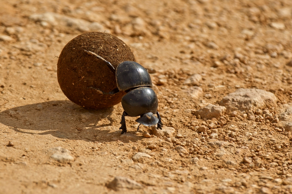 Dung,Beetle,Pushing,A,Ball,Of,Dung,Backwards,In,The