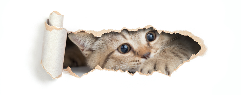 British,Cat,Looking,Through,Hole,In,Paper,Isolated