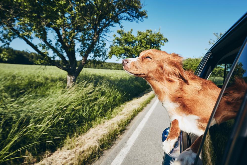 Dog,Travel,By,Car.,Nova,Scotia,Duck,Tolling,Retriever,Looking