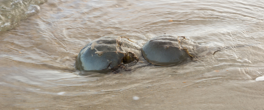 Female,And,Male,Horseshoe,Crab,(limulus,Polyphemus),During,The,Breeding
