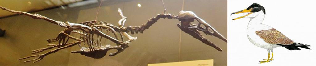 Ichthyornis disparfossil