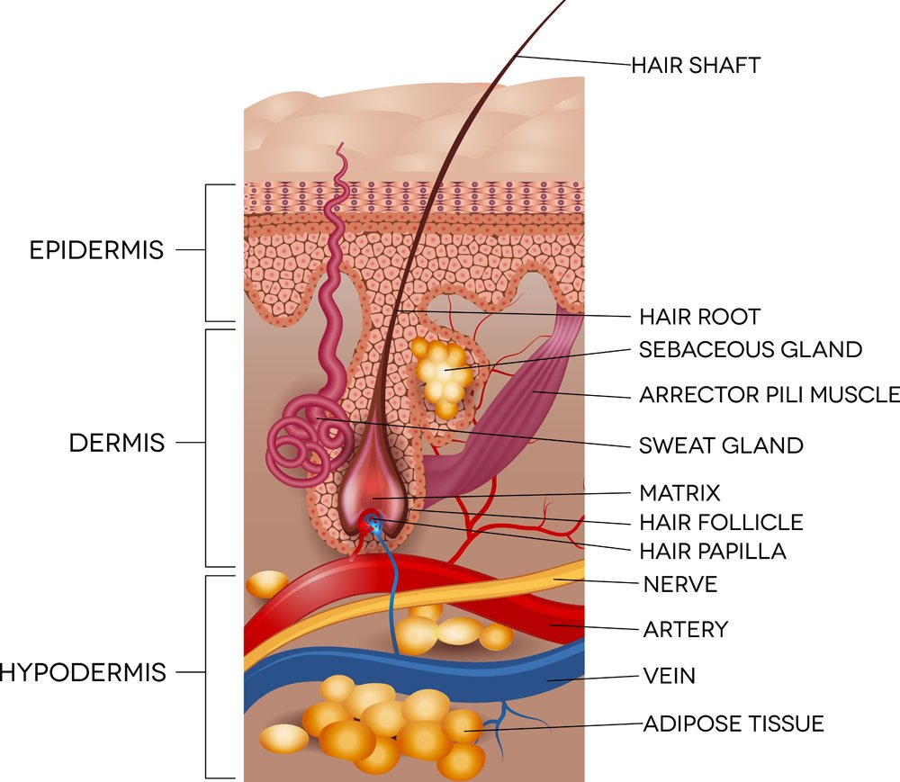 Labeled,Skin,And,Hair,Anatomy.,Detailed,Medical,Illustration.