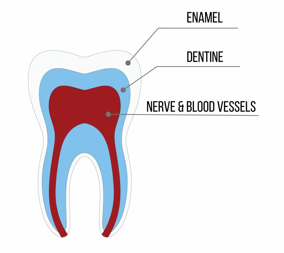 Tooth structure Anatomy with all parts including enamel dentin pulp cavity root canal blood supply for medical science education and dental health care(CarryLove)s