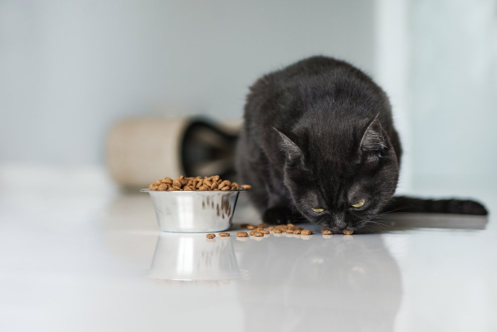 Cute,Brown,Scottish,Cat,Eats,Dry,Food,On,The,Kitchen