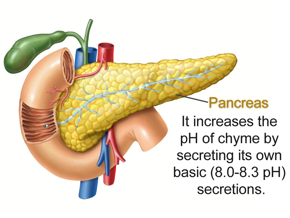 Anatomy,Drawing,Showing,The,Pancreas,,Duodenum,,And,Gallbladder.,Digital,Illustration