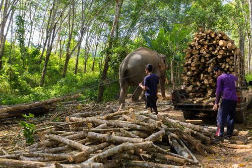 Trang,,Thailand,,January,12,,2016,:,Elephant,Pulling,A,Tree