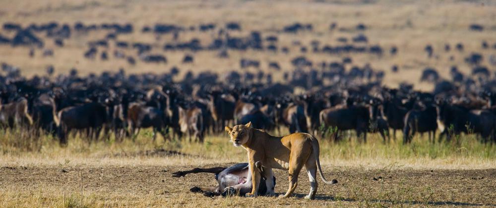 Lioness killed wildebeest( GUDKOV ANDREY)s