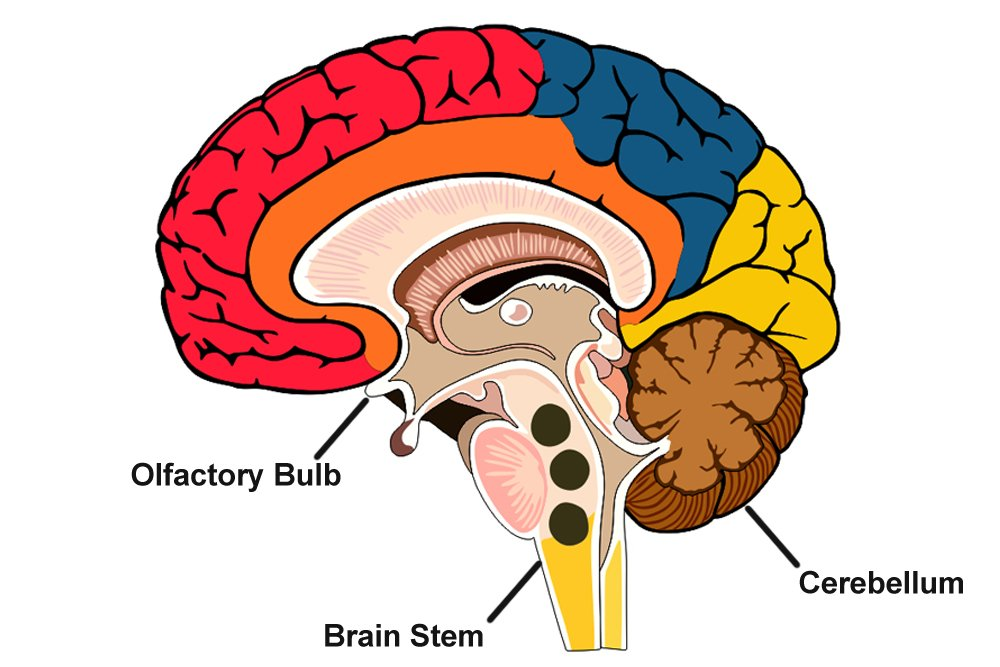 Regions of the brain where magnetite crystals have been found