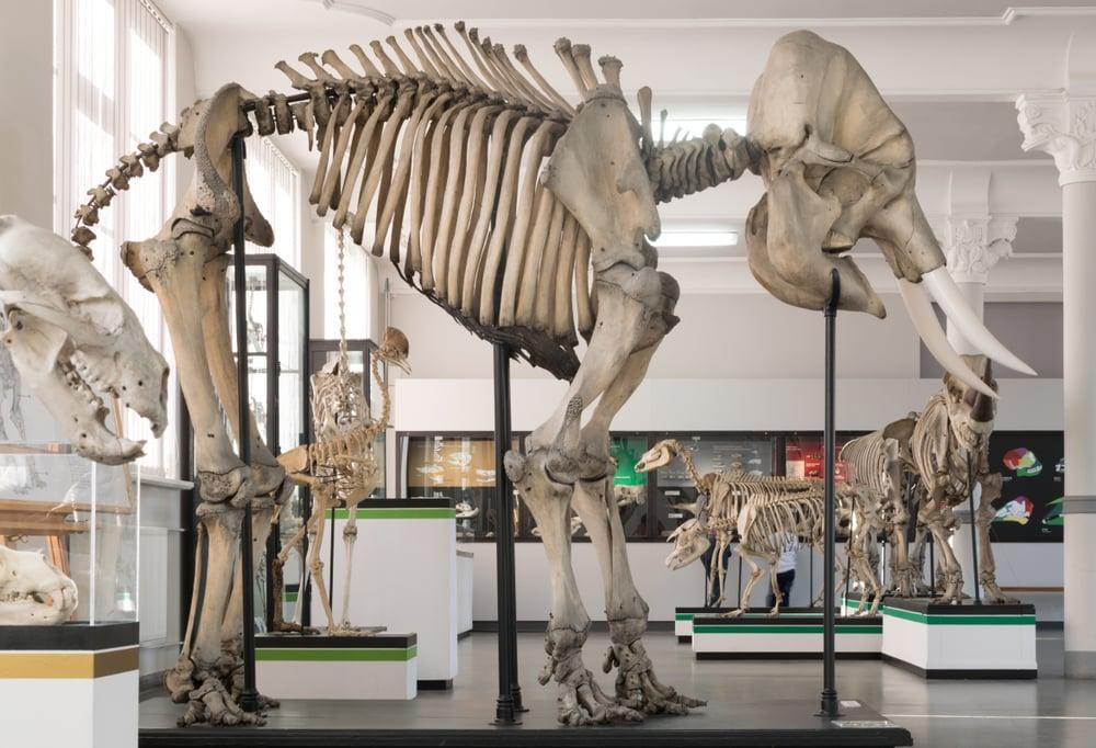 Wroclaw,,Poland,-,January,30,,2017:,Skeleton,Of,Elephant,In