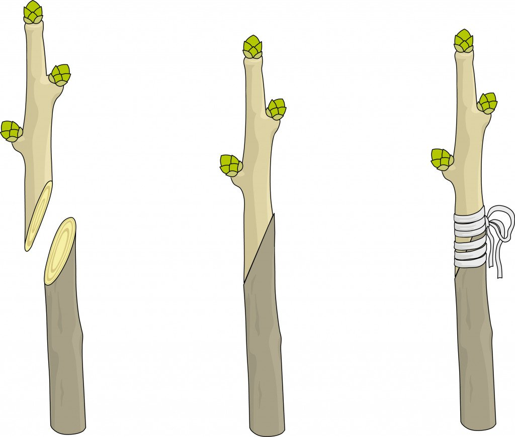 Splice grafting branches of two different trees (Sergey Merkulov)