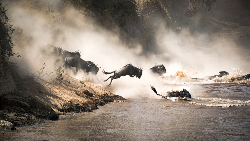 Wildebeest crossing the Mara River during the annual great migration(Jane Rix)s