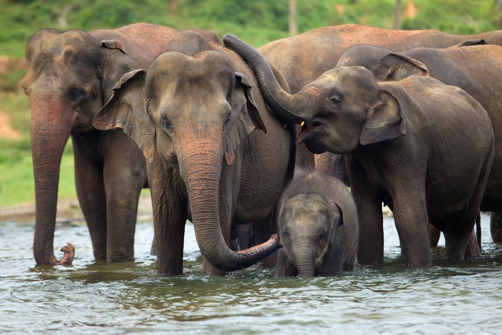 Elephant,Family,In,Water,,Pinnawala,,Sri,Lanka