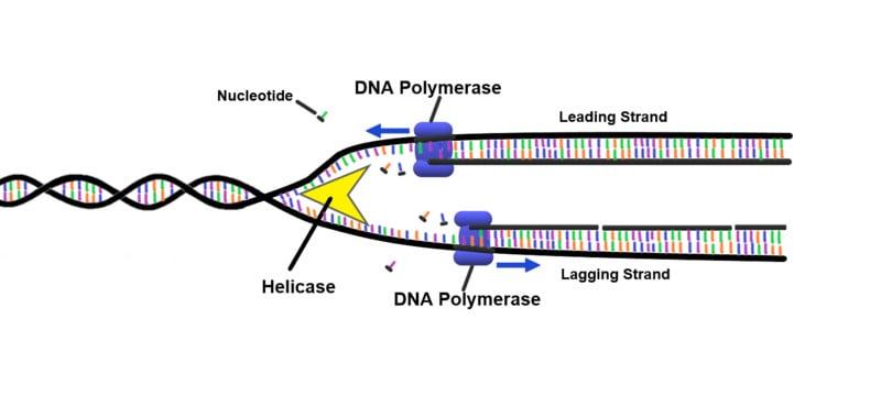 ДНК-полимераза ДНК-репликация.