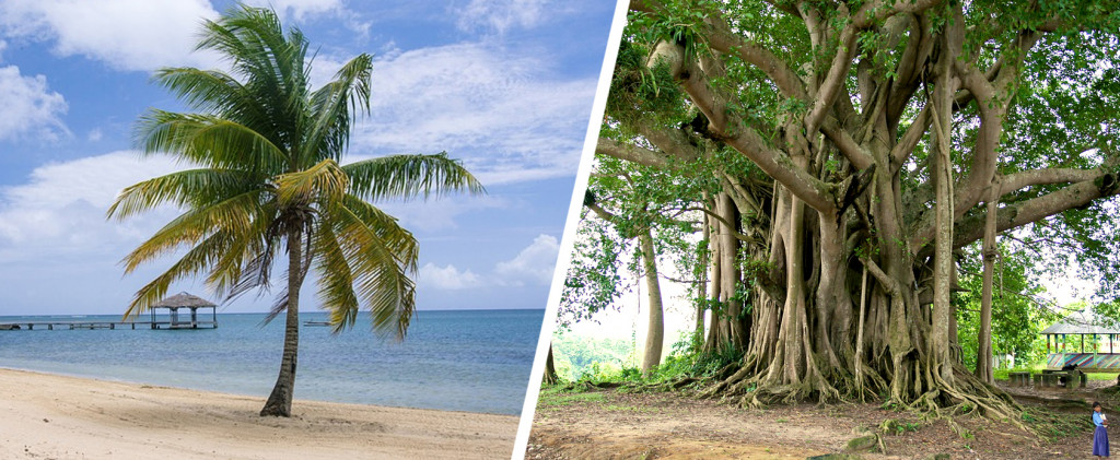 Palm trees and banyan tree