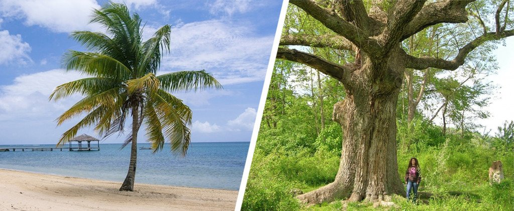 Palm trees are not as 'woody' as other trees.