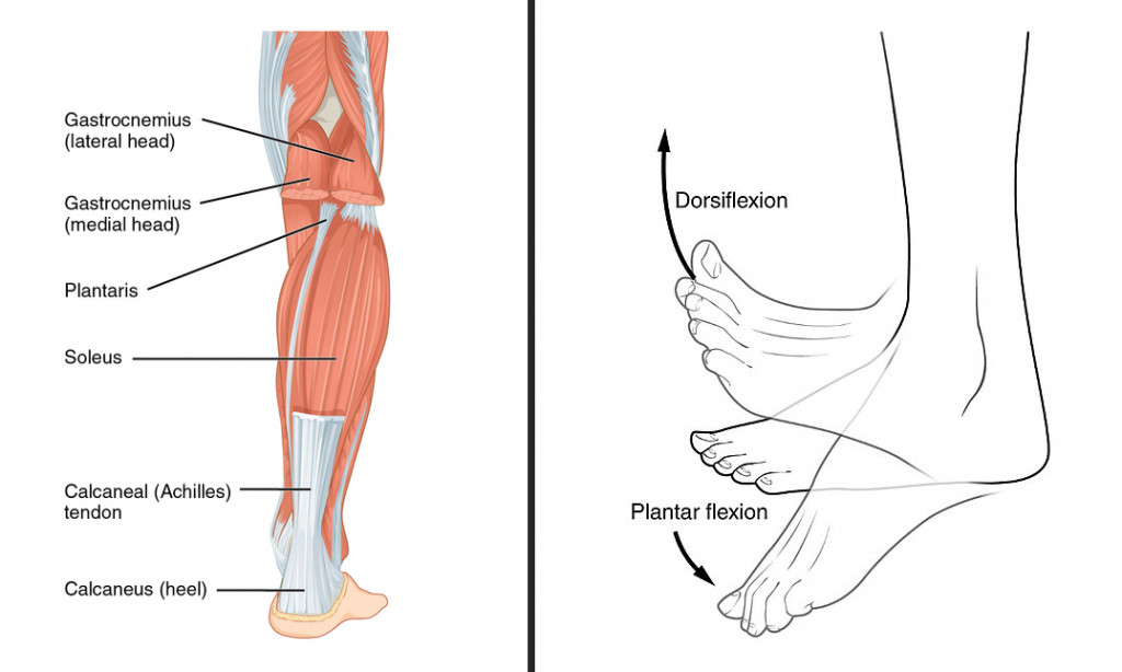The muscles of the calf that shorten when we wear heels & The plantar flexion movement.