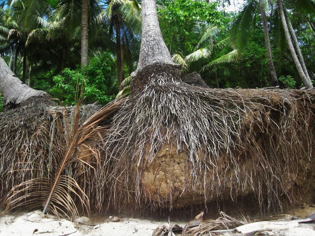 palm tree root