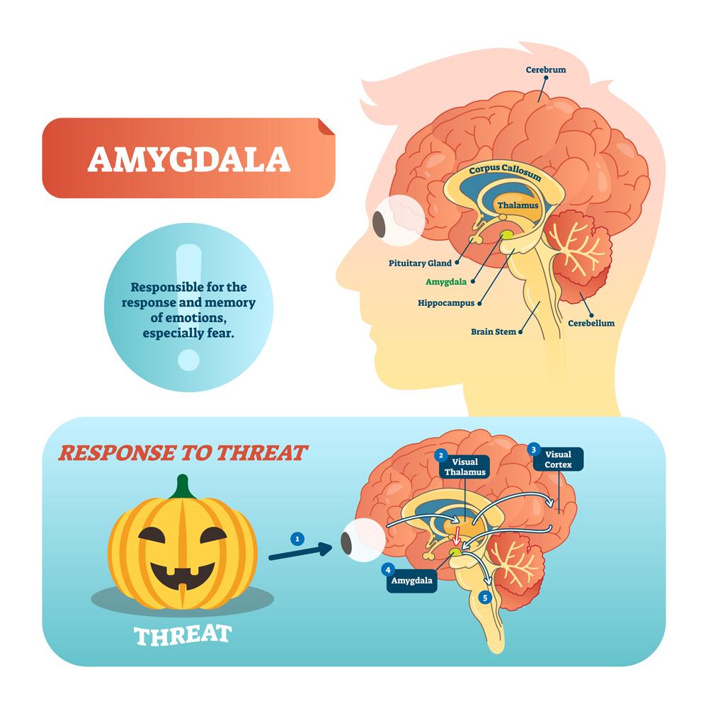 Amygdala,Medical,Labeled,Vector,Illustration.,Anatomical,Scheme,With,Visual,Thalamus,