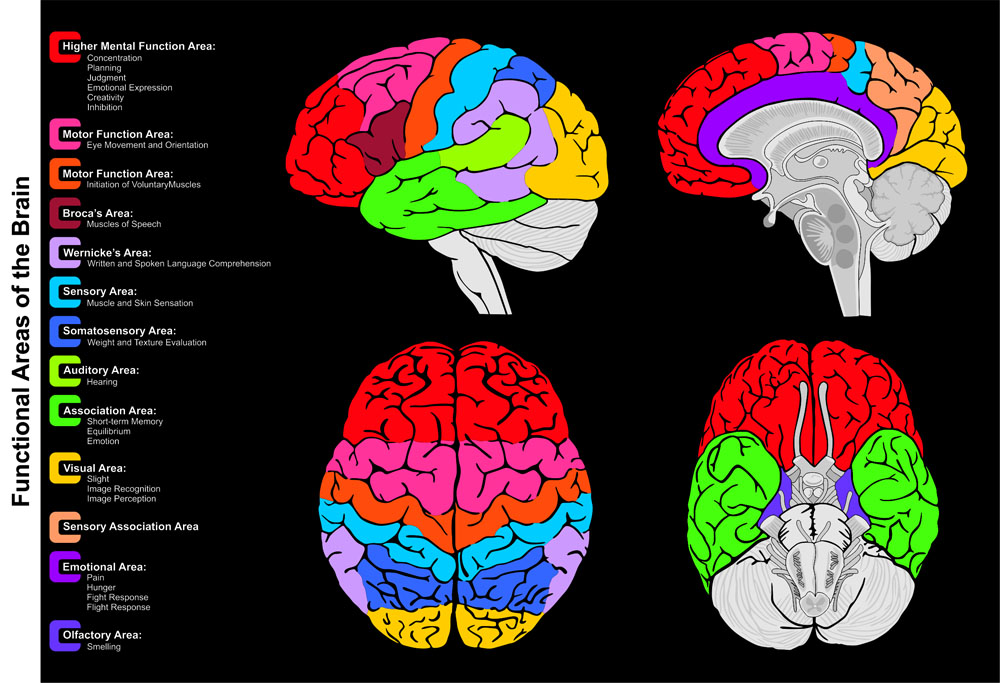 Human Brain Functional infographic including all areas and its functions structure diagram lobes lateral sagittal superior inferior view frontal anatomical position anatomy science education vector