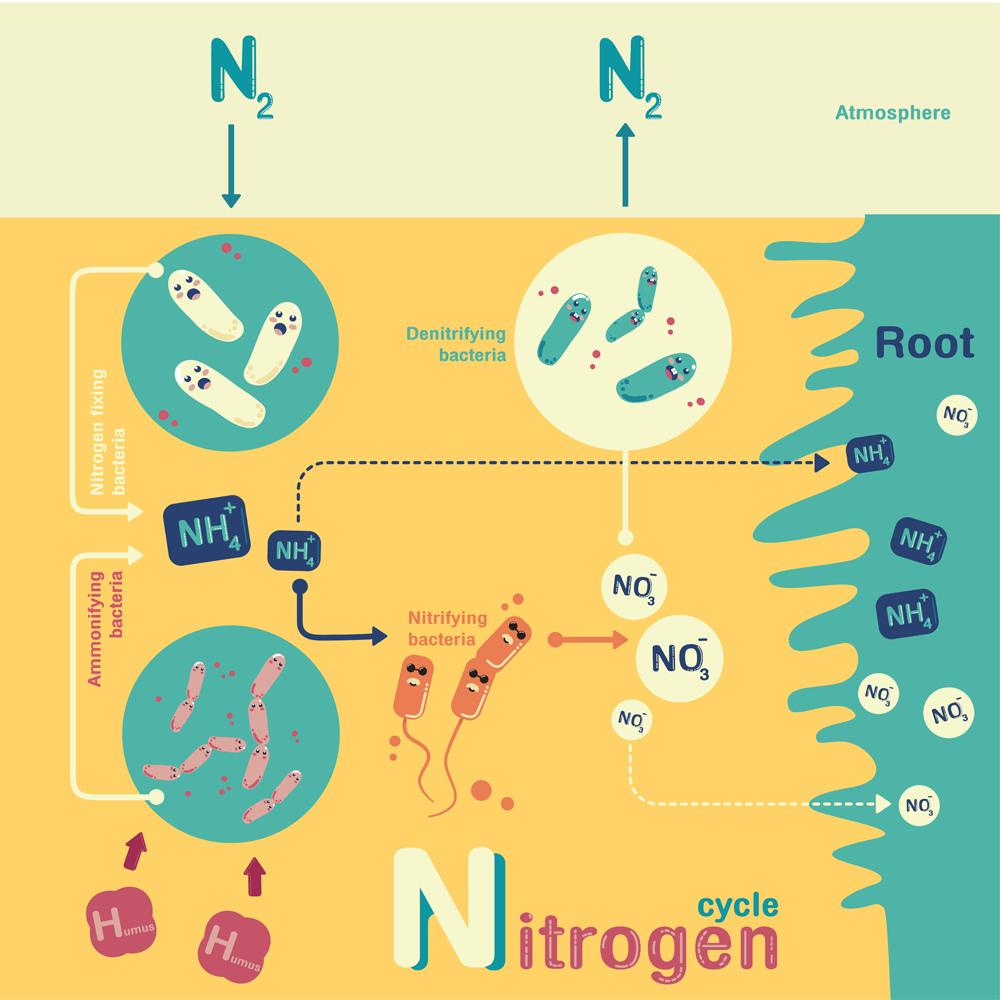 Nitrogen cycle info-graphic cartoon vector