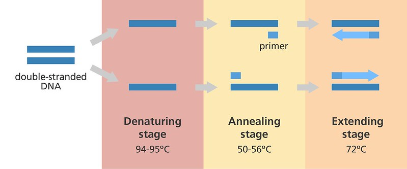 PCR reaction