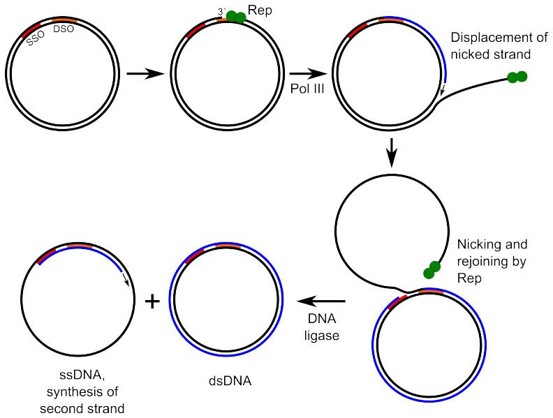Rolling-circle replication