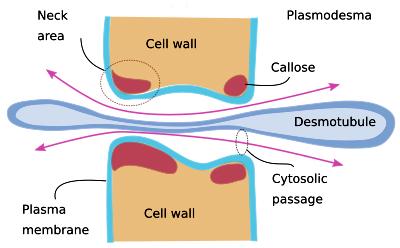 3-plasmodesmos diagram