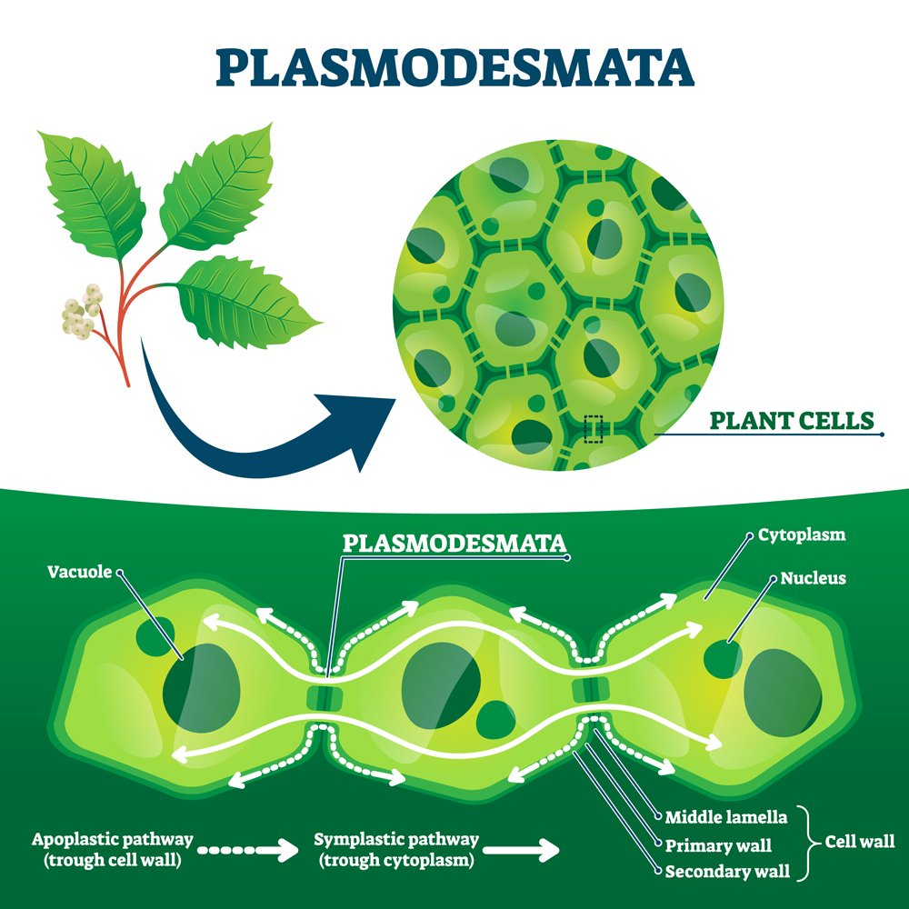 Plasmodesmata plant cells diagram, vector illustration. Educational microscopic labeled cross section scheme. Cell wall protein transport pathways. Agricultural science education and farming research.