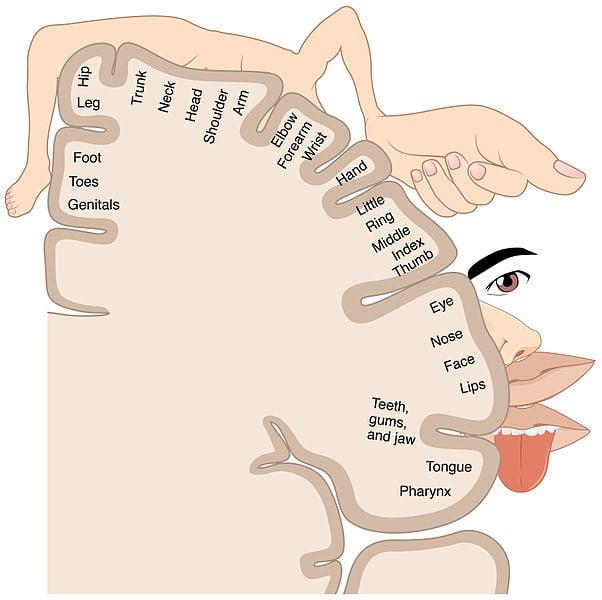 Sensory Homunculus