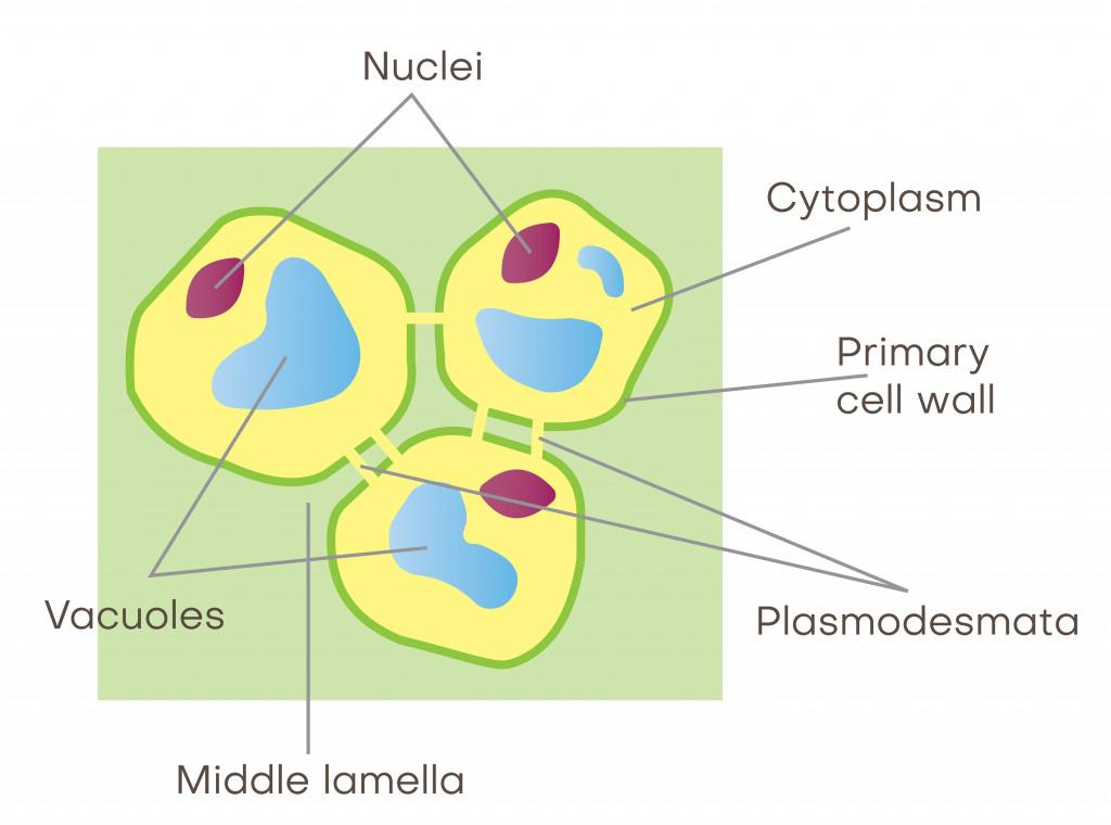 plasmodesmata