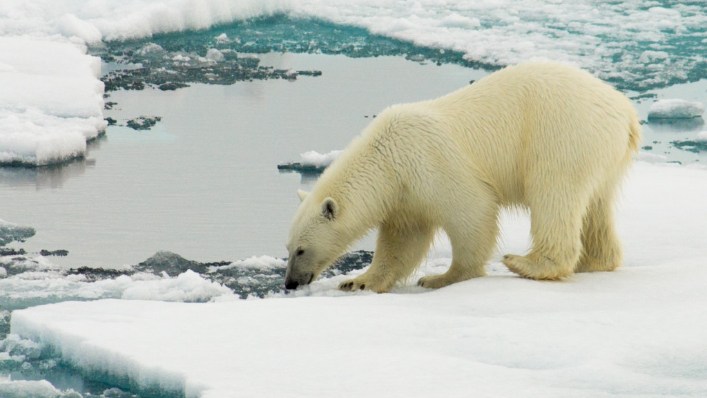polar-bear-in-the-chukchi-sea-arctic-ocean_t20_x6K9Q1