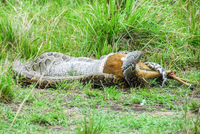 Python snake devouring a small gazelle