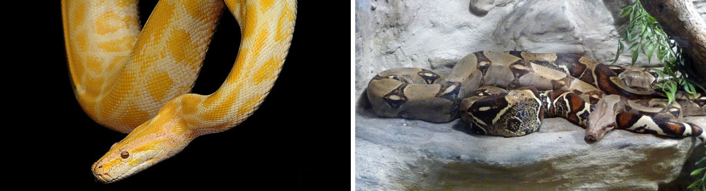 The big eaters On the left is a burmese python and on the right is a boa constrictor