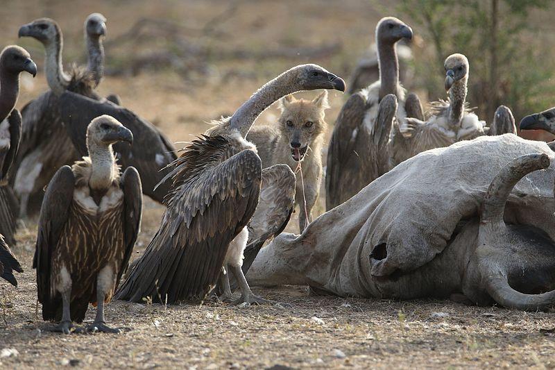 Vulture and Jackal eating together